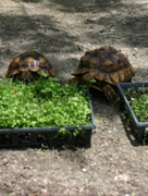 Sulcata Food The Perfect Seed Mixes And Plants For Your